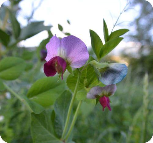 Mendel's Pea Plants