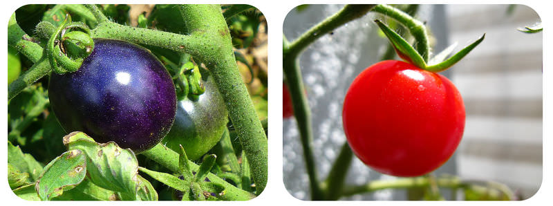 Transgenic purple tomato with cancer-fighting compound