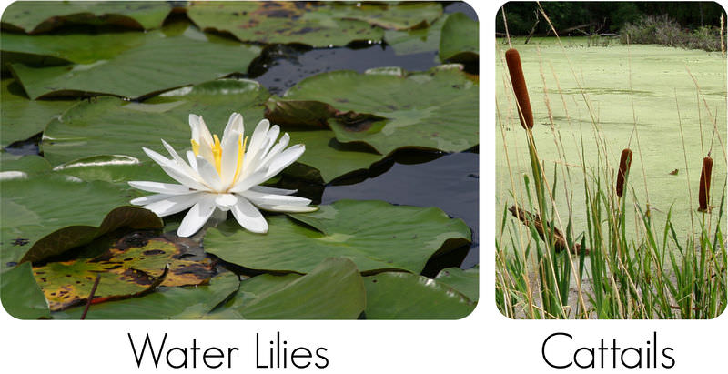Water lilies and cattail adaptations
