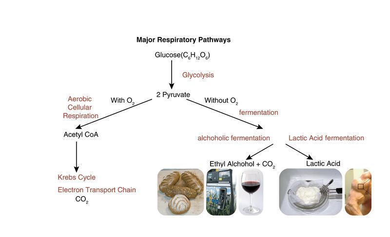 Anaerobic Respiration ATP New Fuels and Yogurt without Oxygen – Fermentation Worksheet