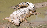 Alligators and Crocodiles Quiz - MS LS
