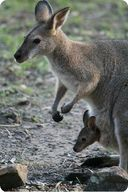 A kangaroo is a marsupial animal