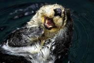 Enhydra lutris: Sea Otter