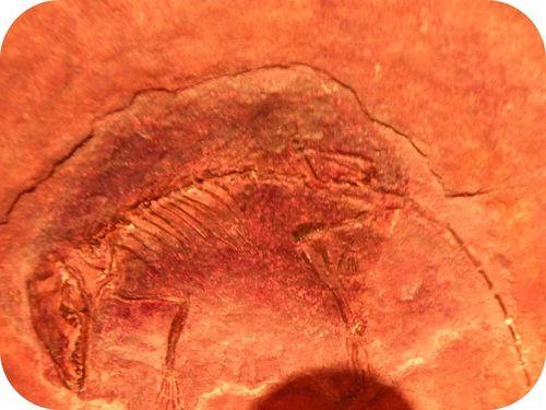 Eomaia illustration: Placental Mammal ancestor