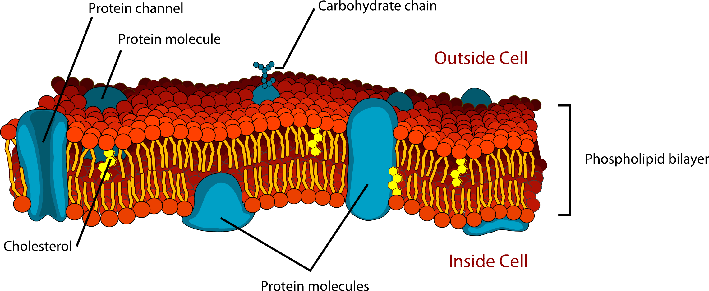 Structure of a phospholipid cell membrane