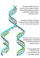 A simple illustration of the DNA replication process