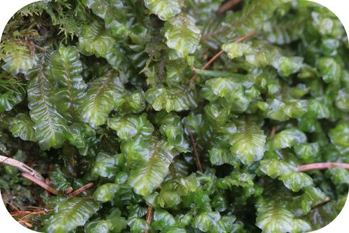 Liverworts are similar to the first land plants