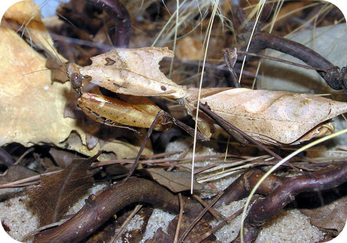This dead leaf mantis is camouflaged by the actual dead leaves