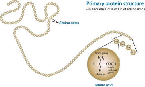 Amino acids form polypeptide chains