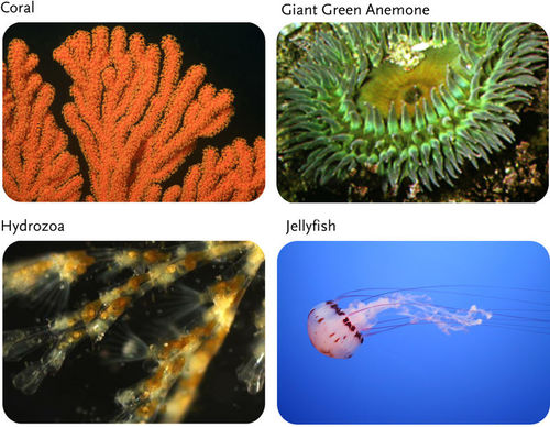Sponges Cnidarians Flatworms And Roundworms Ck 12 Foundation