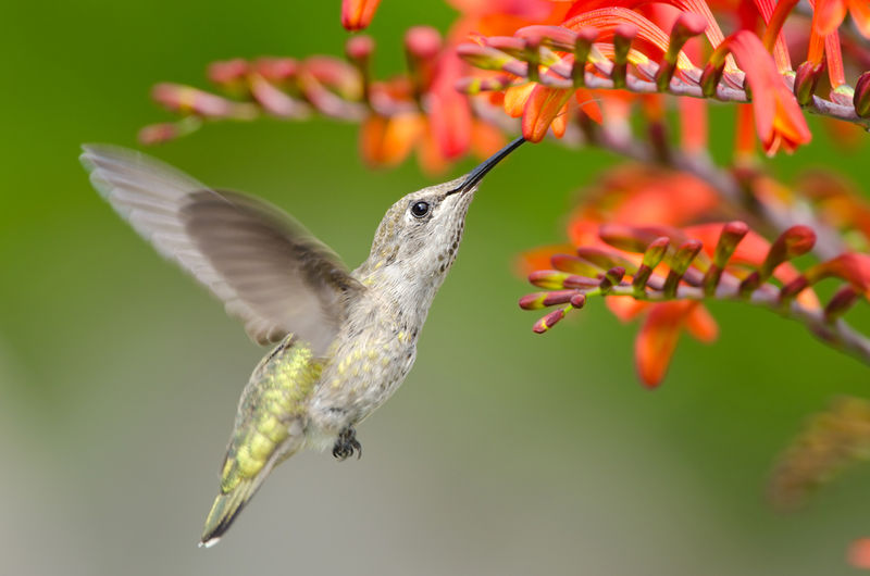 Calypte anna: Anna's Hummingbird