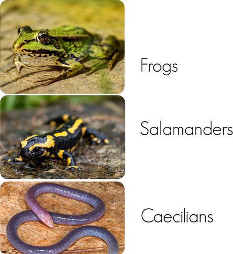 Amphibians   CK-12 Foundation