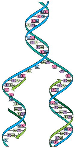 Diagram of DNA replication
