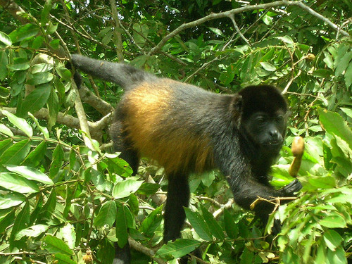 This howler monkey shows adaptations for life among the trees