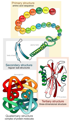 Diagram of the four levels of protein structure