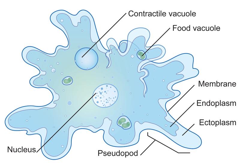 Protozoa | CK-12 Foundation