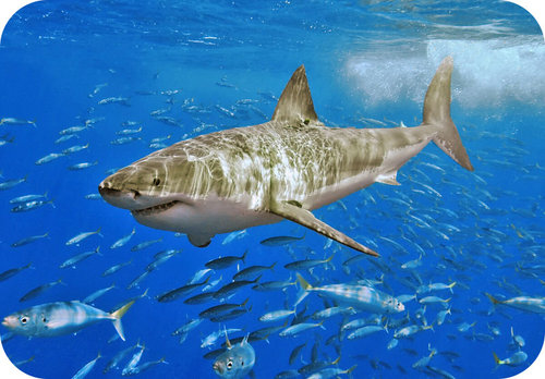 Picture of a Great White Shark