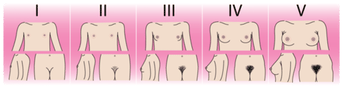 Changes in females during puberty