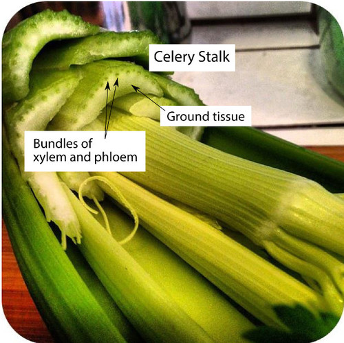 Xylem and phloem in celery
