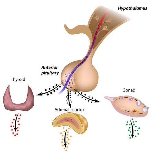 The Hypothalamus and Pituitary Gland - Advanced