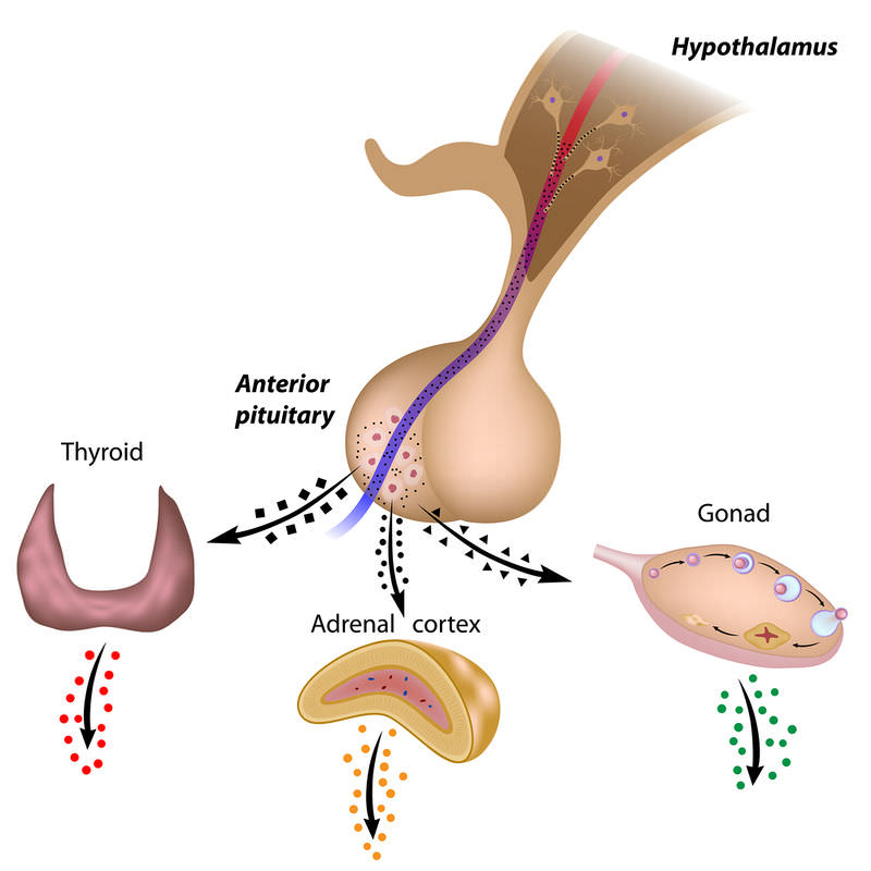 The Hypothalamus And Pituitary Gland Advanced Ck 12 Foundation