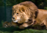 This lion is an example of a hunting predator