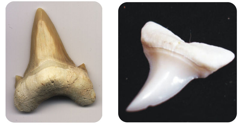 A fossil shark tooth and a modern shark tooth