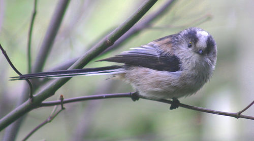 A bird fluffs its feathers to stay warm and to maintain homeostasis