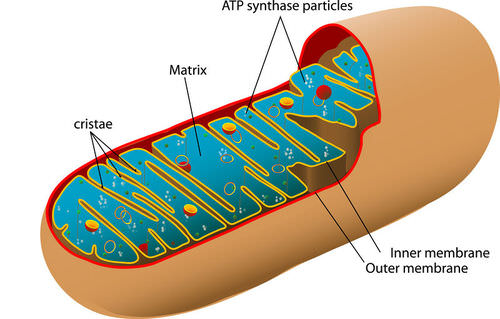 Diagram of the mitochondria