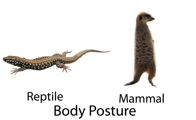 Limb position comparison between reptiles and mammals