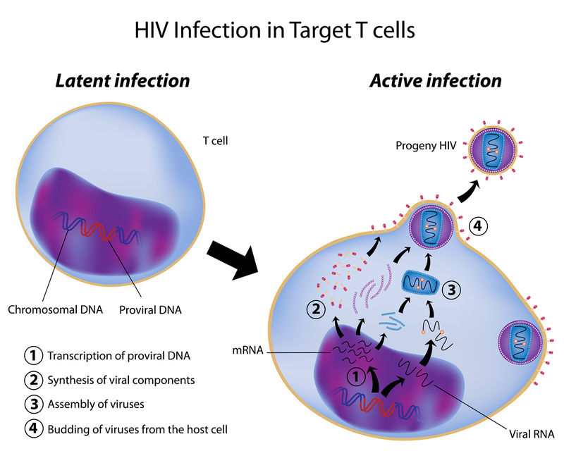 viral disease advanced ck 12 foundation HIV Cycle 11 29 viral disease advanced