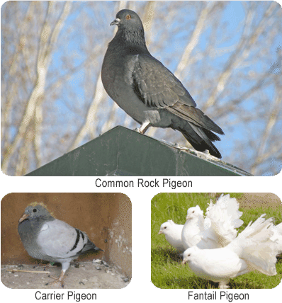 Artificial selection in pigeons to form the carrier pigeon and fantail pigeon