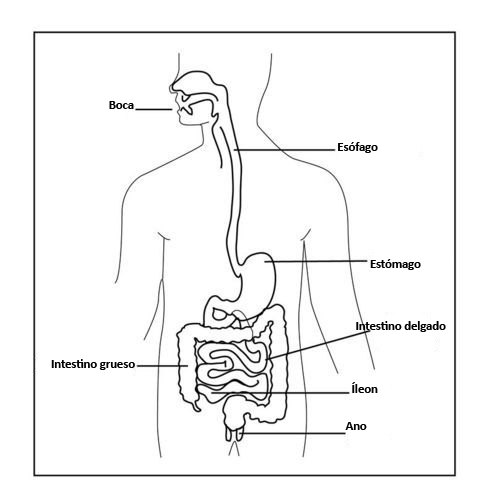 Sistema Digestivo Humano | CK-12 Foundation