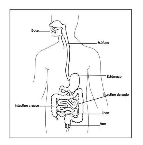 Sistema Digestivo Humano Ck 12 Foundation