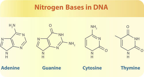 Dating based on dna these bases