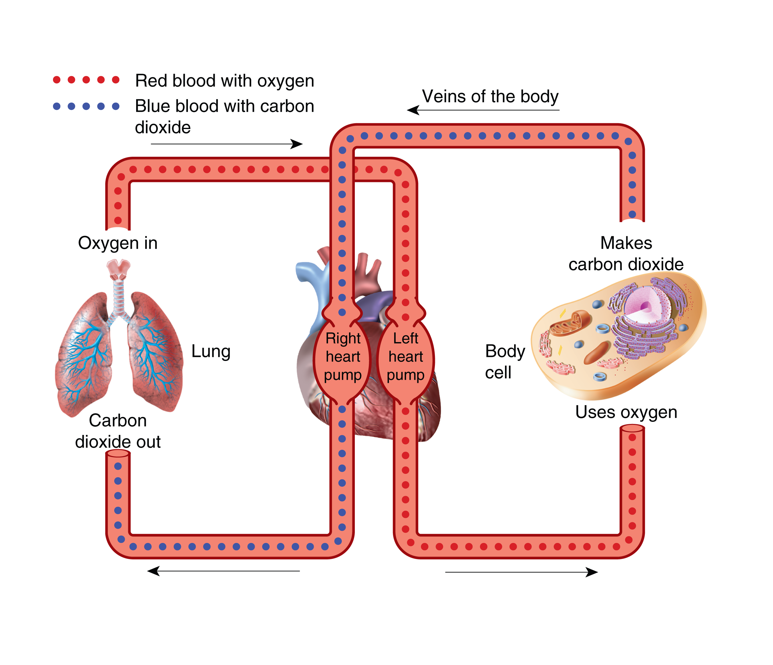 The heart ck 12 foundation figure 221 one pump brings blood from the body to the lungs to get oxygen the other pump brings the oxygen rich blood from the lungs and pumps it ccuart Gallery