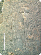 Scale worms are an example of a fossil life from the Cambrian