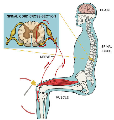 In a reflex arc, an impulse travels to the spinal cord and directly back to cause a rapid reaction