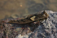 Mudskippers are fish that are able to walk short distances