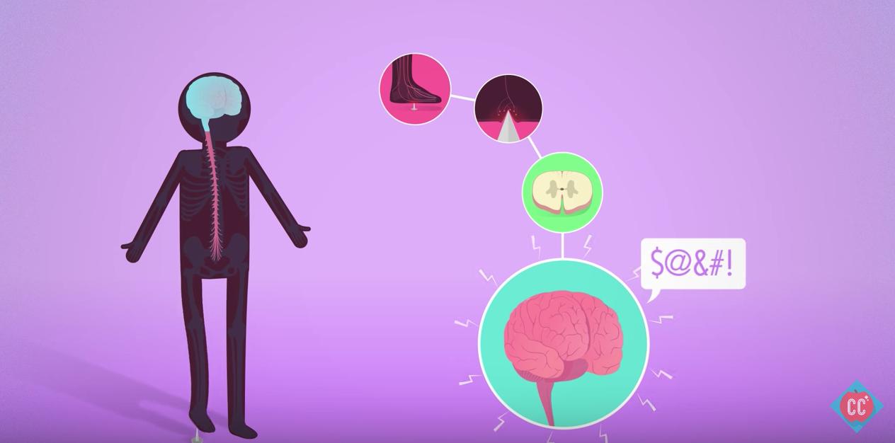 Peripheral Nervous System | CK-12 Foundation