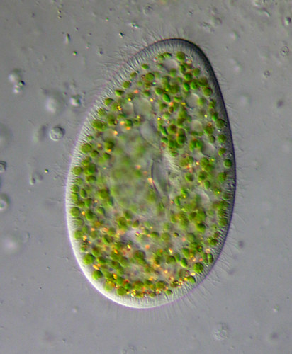Animal-like Protists