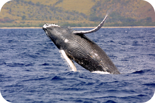 A whale leaping out of water