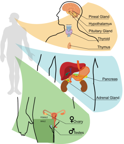 Endocrine system components