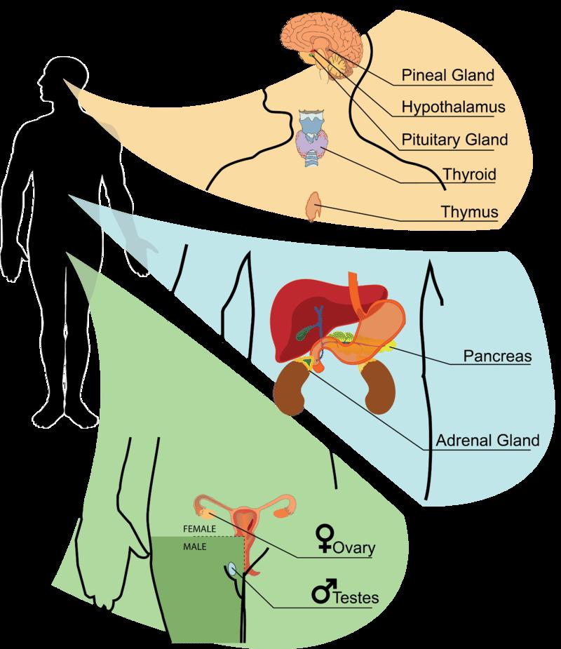 Endocrine Glands Read Biology Ck 12 Foundation