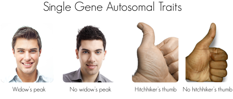 Is It Possible To Have An Autosomal Sex Linked Gene 91