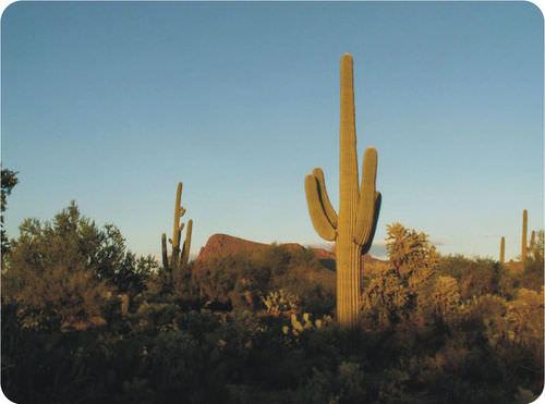 Saguaro cactus adaptations