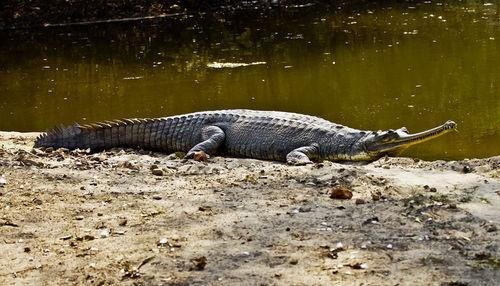 An Indian gharial crocodile.