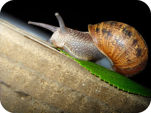 Snails are an example of invertebrates, animals without a backbone