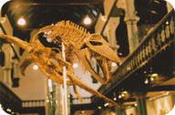 Skeleton of a plesiosaur, a swimming dinosaur