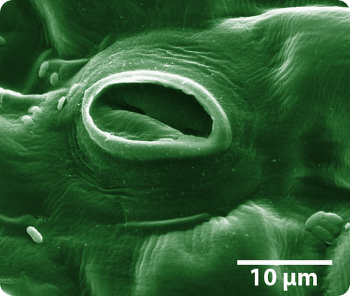 Stomata are pores in leaves that allow gasses to pass through